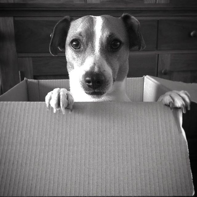 お届けものです。ダンボールに入れられる珠雄。#ジャックラッセルテリア #jackrussellterrier #doglover #dogselfie #instadog #west_dog_japan