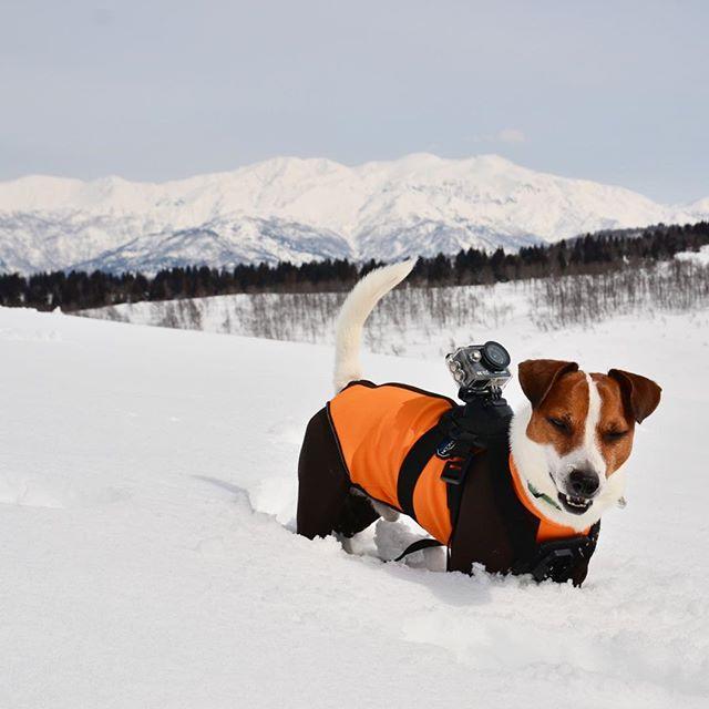 日曜日の雪山⛰ハイク。珠雄の背中にオモチャ付き。#ジャックラッセルテリア #雪山ハイク #doglovers #instadog #jackpurcell #jackrussellterrier #jrt #取立山
