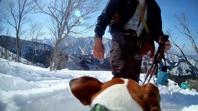 ゆらゆらカメラ先日の雪山ハイキング2017.3.12#ジャックラッセルテリア #jrt #dogstagram #doglover #snowdog #instadog #jackpurcell #jackrussellterrier #jackrussell