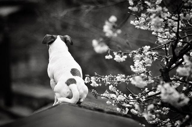2017.3.28お花見には興味がない珠雄。早く帰りたいモード。父ちゃんの自己満足に付き合って。#cherryblossom #dogstagram #doglover #west_dog_japan #snowdog #jackpurcell #jackrussell #jackrussellterrier #jrt #ジャックラッセルテリア