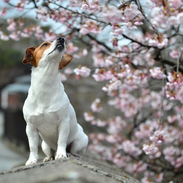 去年より6日ほど遅く、まだ満開ではない早咲きの桜珠雄と早めのお花見#ジャックラッセルテリア #jackrussell #jackrussellterrier #jackpurcell #instadog #snowdog #west_dog_japan #jrt #cherryblossom #doglover #dogstagram