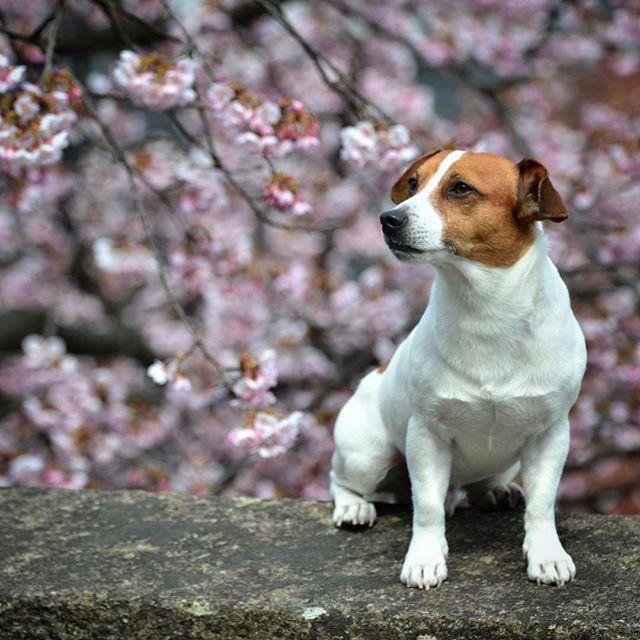 2017.3.28桜写真の続き。これで笑顔だったらな〜#jackrussellterrier #jackrussell #jackpurcell #jrt #ジャックラッセルテリア #west_dog_japan #doglover #dogstagram #cherryblossom #dogs #instadog
