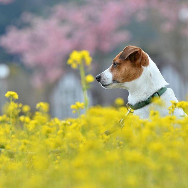 桜 珠雄菜の花2017.3.28去年見つけた撮影場所#ジャックラッセルテリア #jackrussell #jackpurcell #jackrussellterrier #doglover #instadog #cherryblossom #west_dog_japan #dogselfie #doglife