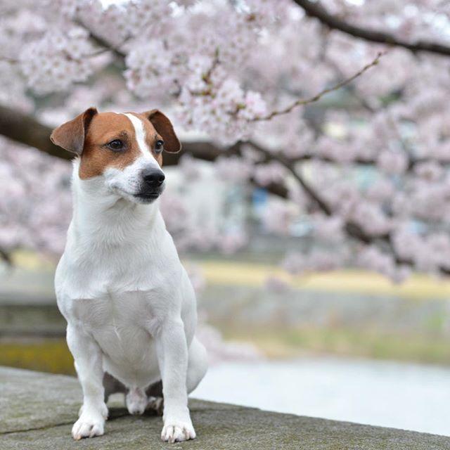 とうちゃんの出勤前に桜撮影会。#doglife #dogselfie #west_dog_japan #cherryblossom #instadog #jackpurcell #jrt #jackrussellterrier #doglover #ジャックラッセルテリア