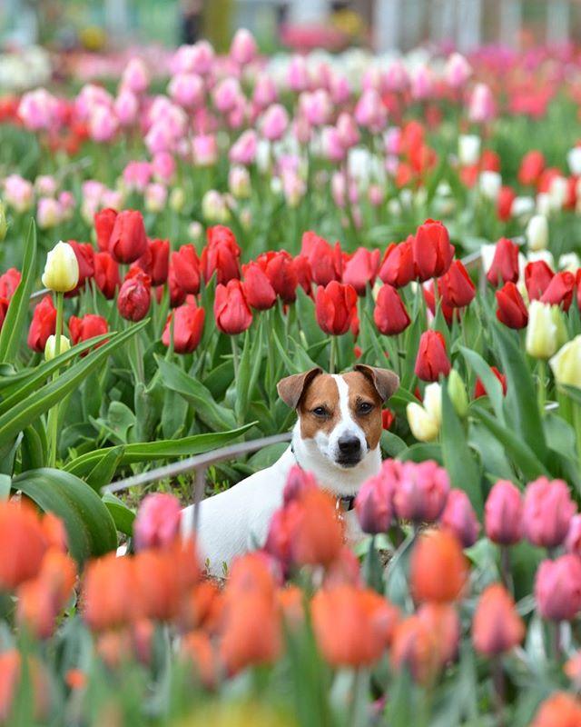 久しぶりのお休み。最近忙しくインスタのいいねも押せてない。リフレッシュに開催前のチューリップを見に。明日からはワンコは入れません #ジャックラッセルテリア #砺波チューリップ #開催前 #lovedogs #jackpurcell #doglover #doglife #jrt #jackrussellterrier #tulips #dogflowers