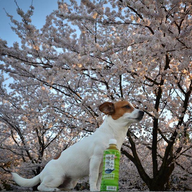 500円クオカード頂きキャンペーンの応募。ごめんなさいコカコーラさん、ボトルの前後が逆に。修正で消そうかな。#綾鷹春のもてなし #ジャックラッセルテリア#ドッグ #japanesetea #cherryblossom #instadog #jackpurcell #jackrussellterrier #jrt #doglife #doglover