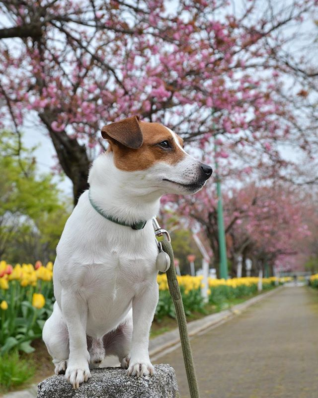 チューリップと八重桜と珠雄2017.4.20#ジャックラッセルテリア #チューリップ #八重桜 #west_dog_japan #jackrussellterrier #dogflowers #tulips #jrt #doglife #jackrussell #doglover #dogstagram