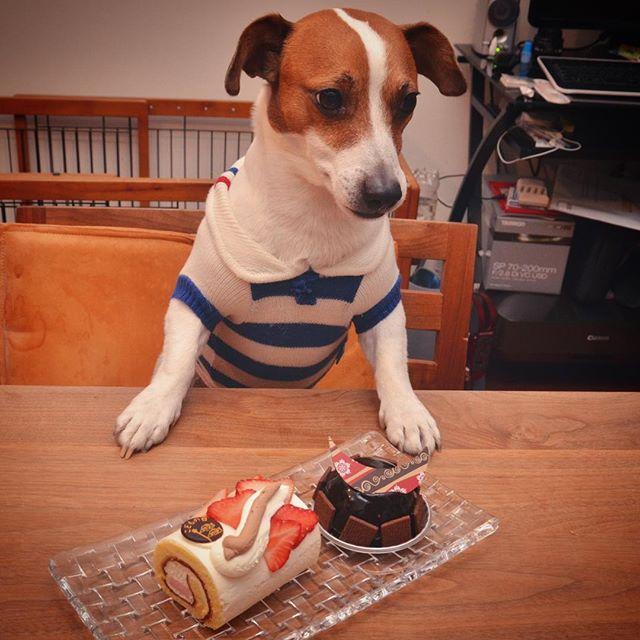珠雄:父ちゃんはGWずっと仕事。おいらはつまらん…父ちゃんケーキ買ってきたけど犬用でないから食べれない。…しまいに服まで着せられテンションダウン️ 父ちゃん:この服、初めて買った犬服。今じゃパッツン。もう少しでお休み、海🏖山⛰行くよ!
