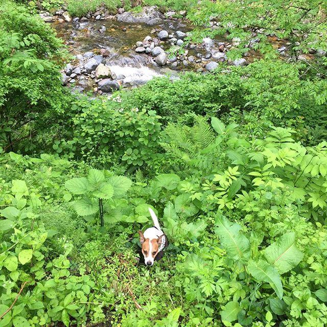 今から渓流釣りだよ。#ジャックラッセルテリア #dogslovers #dogsofinstagram #jackrussellterrier #jackrussell #riverfishing #渓流釣り