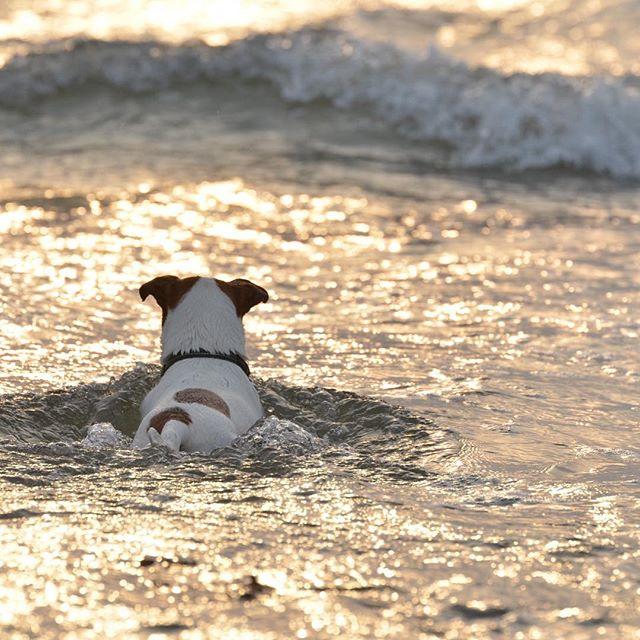 夕方の金色の海で泳いだよ。#jackrussell #jackrussellterrier #dogsofinstagram #ジャックラッセルテリア#dog #doglife #doglover #dogstagram #west_dog_japan