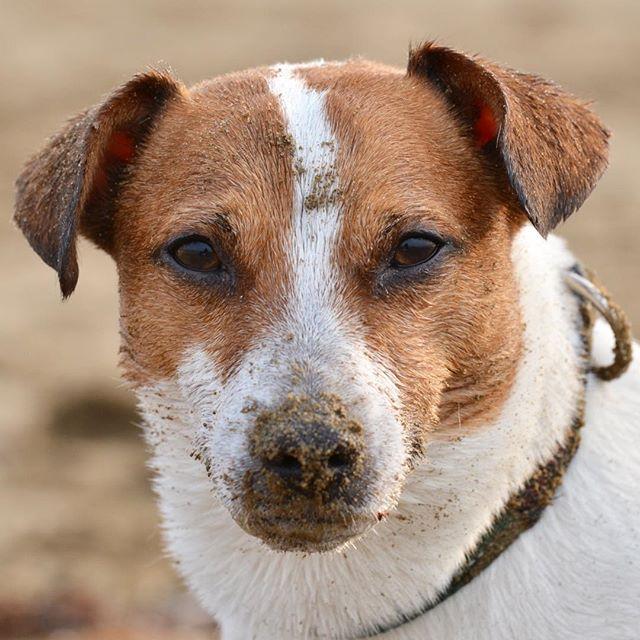 おはようございます🌞ワン。顔が砂だらけなので珠雄改め砂雄です。#ジャックラッセルテリア #dogstagram #doglover #doglife #dog #jackrussell #jackpurcell #dog