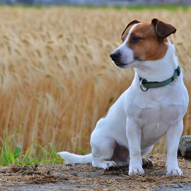 タッサン刈り取り前の大麦畑で#dogstagram #doglover #doglife #dog #ジャックラッセルテリア #jackpurcell #jackrussell #jackrussellterrier