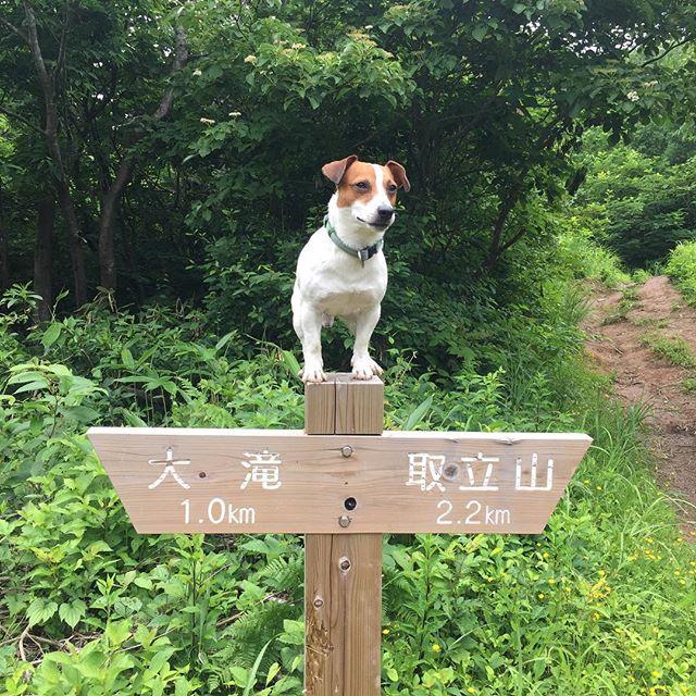 今日のコースはどっち?結局ぐるっと一周しました。取立山ハイキング#取立山 #ジャックラッセルテリア #jackrussellterrier #doglife #dogslovers #hiking