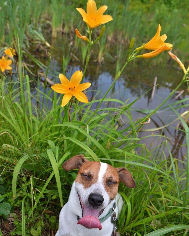 ニッコウキスゲと珠雄。あちちで笑顔?珠雄は入り口でお留守番。#ジャックラッセルテリア #dogslovers #doglife #jackrussellterrier #dogstagram #west_dog_japan #hiking