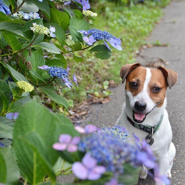 今更紫陽花#jackrussellterrier #dogstagram #doglife #ジャックラッセルテリア #dogslovers #jackrussell #jackpurcell