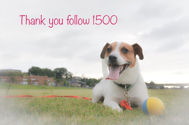 Thank you  ️ #ジャックラッセルテリア #dogslovers #jackrussell #jackpurcell #jackrussellterrier