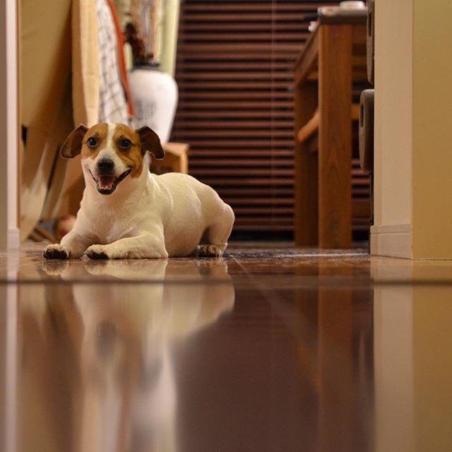家の中でリフレクション。#jackrussellterrier #jackpurcell #jackrussell #dog #doglife #dogslovers #dogstagram #ジャックラッセルテリア