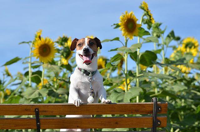 北陸地方もやっと梅雨明け。夏遊び開始!#jackrussellterrier #jackpurcell #jackrussell #dogslovers #doglife #instadogs #sunflower #ひまわり畑 #ジャックラッセルテリア