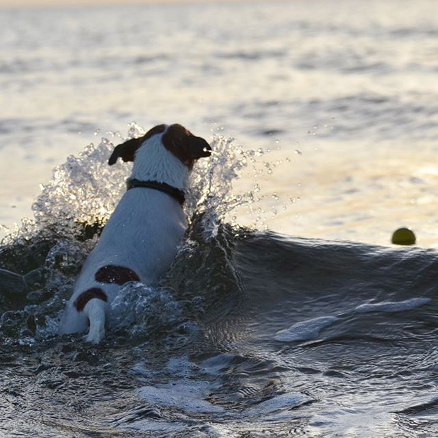 ボール追いかけ波もザップーーん#jackrussellterrier #jackpurcell #jackrussell #dogslovers #doglife #swimmingdog #ジャックラッセルテリア