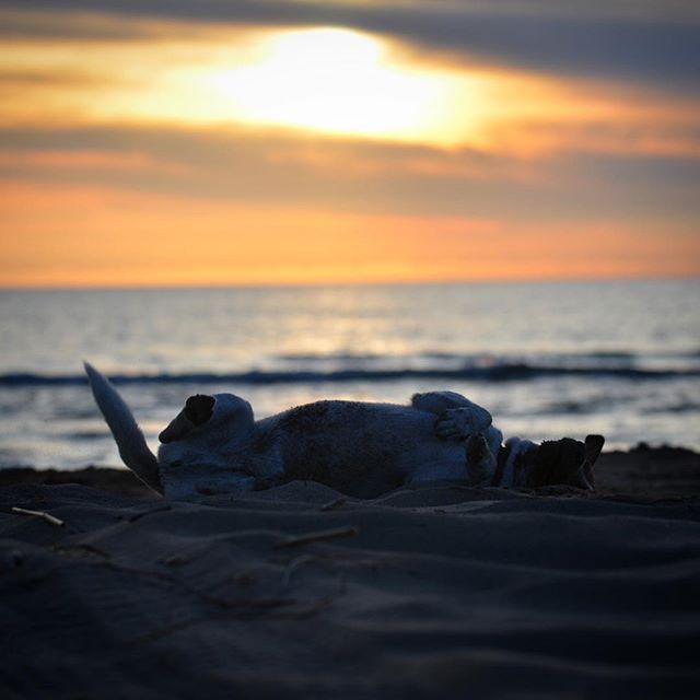 先日の海で。楽しすぎてゴロンゴロン。#jackrussellterrier #jackpurcell #jackrussell #dogslovers #doglife #seadogs #ジャックラッセルテリア