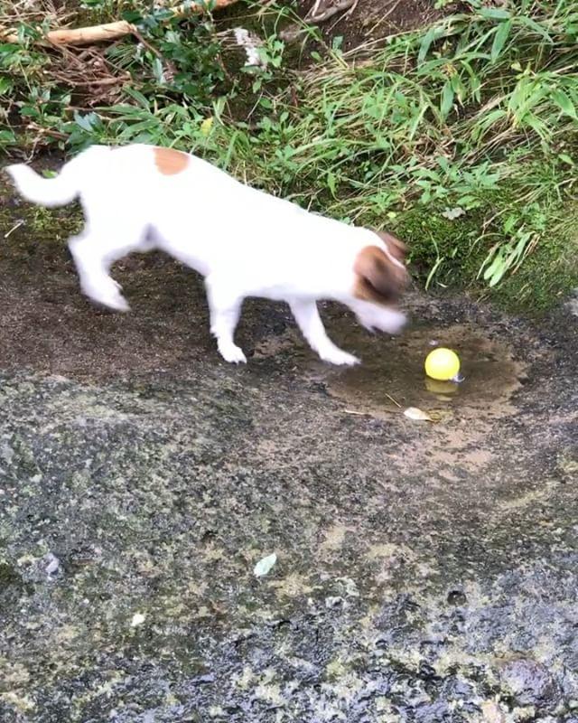 永延とひとり遊び。川から登れないのが父ちゃんお気に入り。#jackrussellterrier #jackpurcell #jackrussell #dogslovers #doglife #riverdog #ジャックラッセル