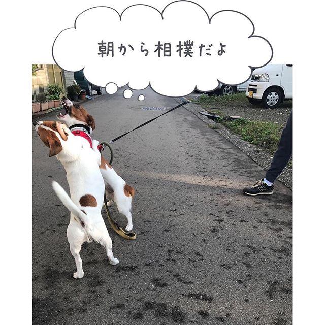 約1ヵ月ぶりのポスト。珠雄は元気だよー。相撲相手は、ご近所のジャッキーちゃん#dogstagram #jackrussellterrier #instdogs #相撲 #ジャックラッセルテリア