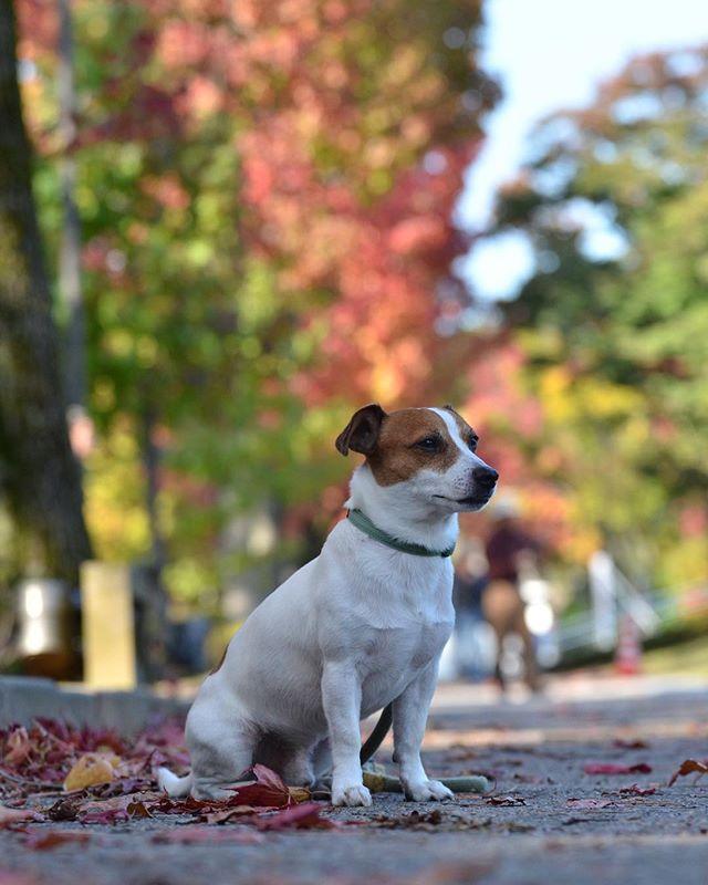 秋だね〜〜 #jackpurcell #jackrussell #jackrussellterrier #instadog #dogstagram #ジャックラッセルテリア