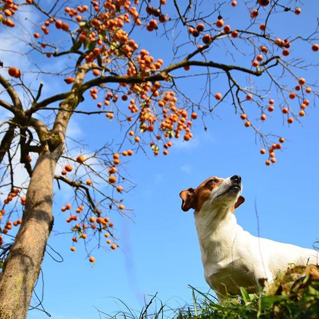柿泥棒取締中のつもり川沿いの柿の木、取るのも面倒なのか沢山の柿が。#勝手に柿泥棒警戒中#面倒なのか#青空と柿#jackpurcell #jackrussell #jackrussellterrier #ジャック部 #ジャックラッセルテリア