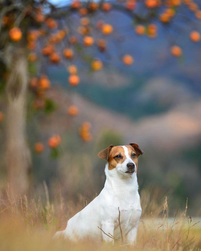 柿の木の下日本の田舎珠雄は柿に興味無し#jackpurcell #jackrussell #jackrussellterrier #柿の木の下 #ジャックラッセルテリア