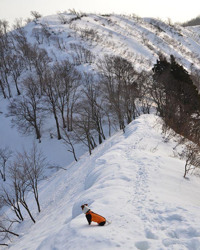 昨日の雪山ハイク🏔帰りは、車の中でグッスリ😴😴 #雪山ハイク #jackpurcell #jackrussell #jackrussellterrier #jrt #ジャックラッセルテリア