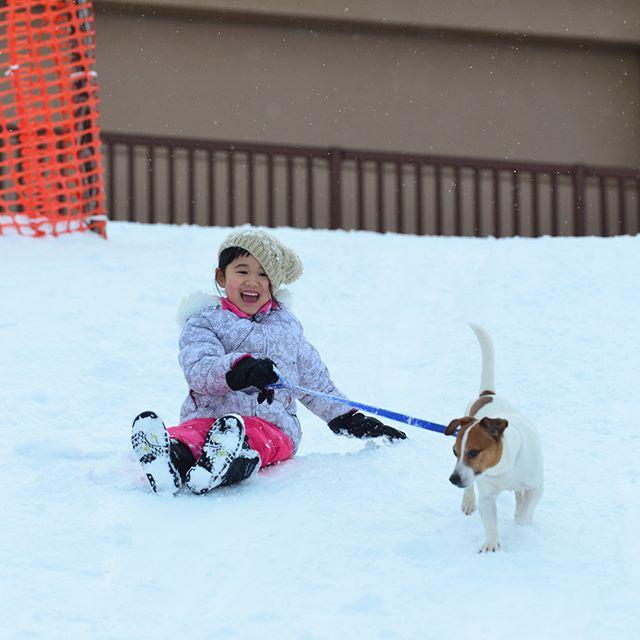 公園で雪山の坂を一緒に滑ります。勢いあまってゴロンゴロン#jackpurcell #jackrussell #jackrussellterrier #winterpark #snowdog #ジャックラッセルテリア #雪遊び