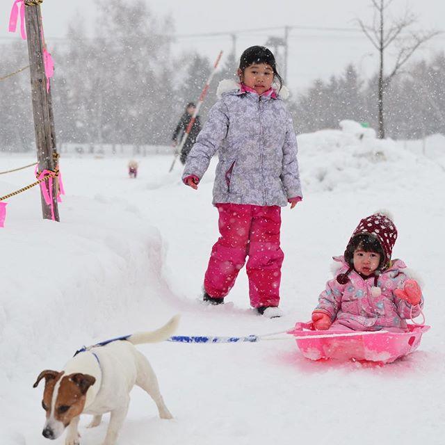 犬ぞり写真、正面から。真剣に引いてます。珠雄in札幌 #dog sledding #jrt #jackpurcell #jackrussell #jackrussellterrier #犬ぞり #ジャックラッセルテリア #姪っ子を引く