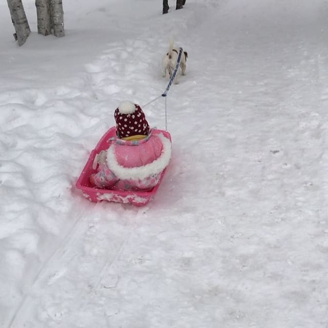 札幌でのお仕事犬ぞりで姪っ子10.5キロを引くこと#犬ぞり #ジャックラッセルテリア #北海道 #jackpurcell #jackrussell #jackrussellterrier #jrt #dog sledding #10キロ位は引けた珠雄は7.8キロ