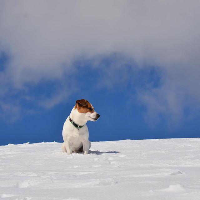 最近、投稿がないとの事珠雄は元気です。写真は先月の雪山いつまで雪の写真?#jackpurcell #jackrussellmoments #jackrussellterrier #ジャックラッセルテリア #雪山ハイク