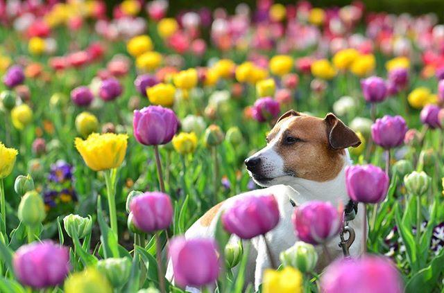 昨日のチューリップフェア中は、ワンコNGな為沢山のワンコ連れが来ていました。#jackpurcell #jackrussell #jackrussellmoments #jackrussellterrier #jrt #tulip #ジャックラッセルテリア #チューリップフェア前
