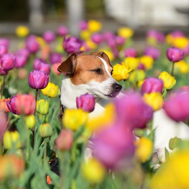 砺波のチューリップを見に。フェア中はワンコNG#jrt #jackpurcell #jackrussell #jackrussellterrier #tulip #ジャックラッセルテリア #チューリップ