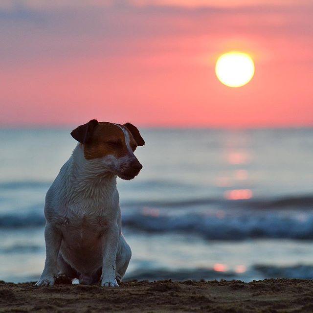 久々の海遊び日が暮れるまで遊んで楽しかったかな明日からまた頑張ろう#jrt #jackpurcell #jackrussell #japanesetea #jackrussellmoments #sunset #高松サービスエリアの夕陽 #海遊び