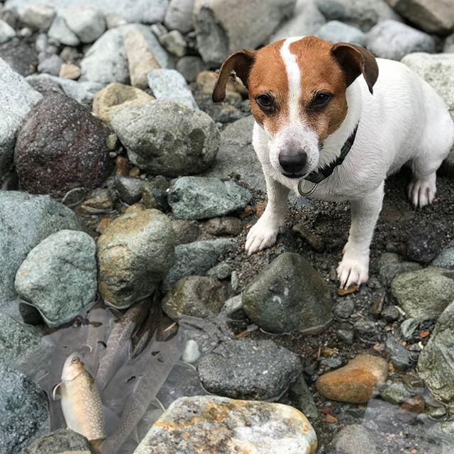 琵琶湖うじゃっくのビンゴ景品の調達へワンコ用天然イワナの干物みんなに会えるのを楽しみにしています。#jrt #天然イワナ #渓流釣り #渓流犬 #ジャックラッセル #ジャックラッセルテリア