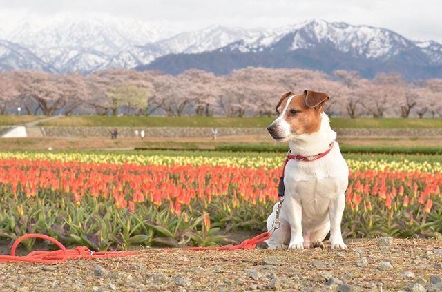 父ちゃんにお付き合い。チューリップと桜と雪山。来週が見頃とチューリップ農家さんが言っていました。#春の四重奏2019 #じゃっくらっせるてりあ #jrt #jackrussellterrier #jet #タイ人に珠雄が喜ばれる。